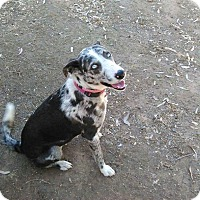 Adopt A Pet :: BLUE GIRL - Gustine, CA