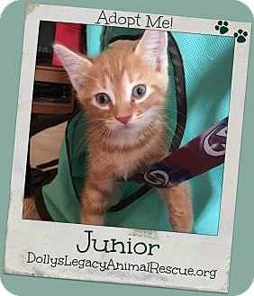 Domestic Shorthair Kitten for adoption in Lincoln, Nebraska - JUNIOR