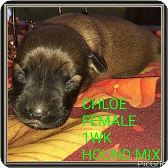 Hound (Unknown Type) Mix Puppy for adoption in Pomfret, Connecticut - CHLOE
