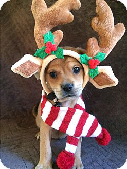 Pug/Dachshund Mix Puppy for adoption in SOUTHINGTON, Connecticut - Deer