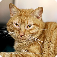 Domestic Shorthair Cat for adoption in Appleton, Wisconsin - Thor