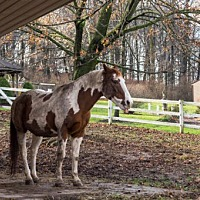 Adopt A Pet :: 19411 - Buck is a handsome, 20 year old stallion, - Birdsboro, PA