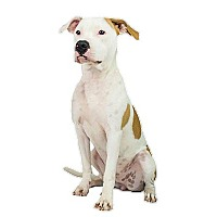 Pit Bull Terrier Dog for adoption in Dallas, Texas - Lucy