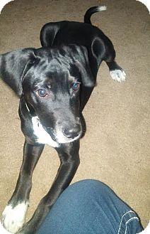 Labrador Retriever Mix Puppy for adoption in Trenton, New Jersey - Benedict