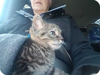 Domestic Shorthair Kitten for adoption in Mackinaw, Illinois - Ember II