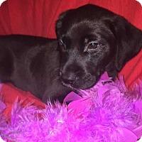 Adopt A Pet :: Dash - Foristell, MO