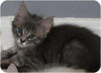 Maine Coon Kitten for adoption in Oxford, Connecticut - Bailey