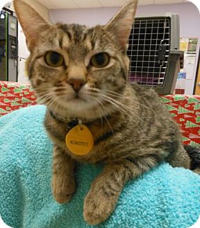 Domestic Shorthair Kitten for adoption in Reston, Virginia - Sandie