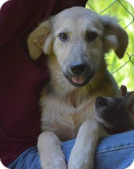 Great Pyrenees Mix Puppy for adoption in New Boston, New Hampshire - Cara