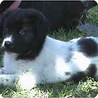 Adopt A Pet :: Bryana - Sacramento, CA