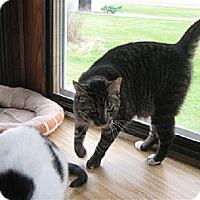 Domestic Shorthair Cat for adoption in Jefferson, Ohio - Daisy