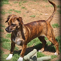 Adopt A Pet :: Brigitte - Greenville, SC