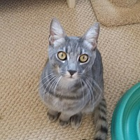 Domestic Shorthair Cat for adoption in San Fernando Valley, California - Louie