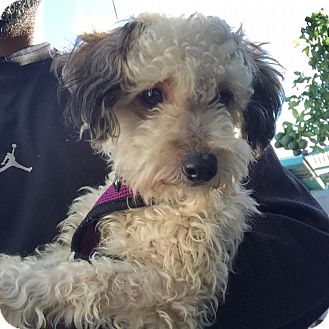Cinnamon | Adopted Dog | Hollywood, CA | Miniature Poodle ...