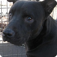 Mastiff Mix Dog for adoption in Phoenix, Arizona - Tank