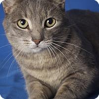 Adopt A Pet :: Cloudy - Gilbert, AZ