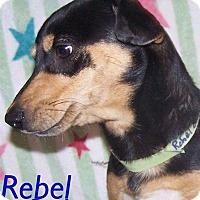 Adopt A Pet :: Rebel - Oviedo, FL