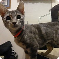 Adopt A Pet :: Muse-Adoption Pending! - Colmar, PA