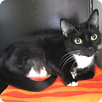Domestic Shorthair Cat for adoption in Cranston, Rhode Island - Daphne