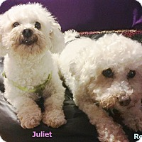 Adopt A Pet :: Romeo & Juliet - East Hanover, NJ