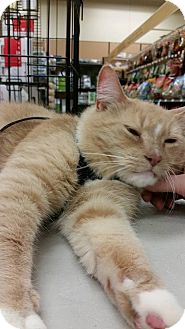 Domestic Shorthair Cat for adoption in Putnam, Connecticut - Diego