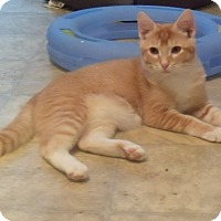 American Shorthair Kitten for adoption in Buford, Georgia - Rusty - $35.00