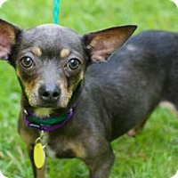 Adopt A Pet :: Sadie - Chester Springs, PA