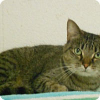 Adopt A Pet :: Misty, a Polydactyl cat - Huntsville, AL