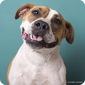 American Staffordshire Terrier Mix Dog for adoption in Anniston, Alabama - Maybelle