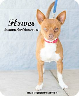 Terrier (Unknown Type, Small) Mix Dog for adoption in Modesto, California - Flower