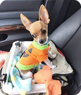 Chihuahua Puppy for adoption in Rancho Santa Fe, California - Tucker