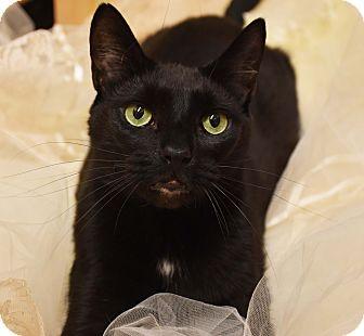 Domestic Shorthair Cat for adoption in Bristol, Connecticut - Leo