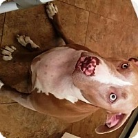 Pit Bull Terrier Mix Dog for adoption in Gilbert, Arizona - Bisquette