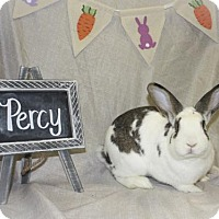 English Spot for adoption in Holbrook, New York - Percy