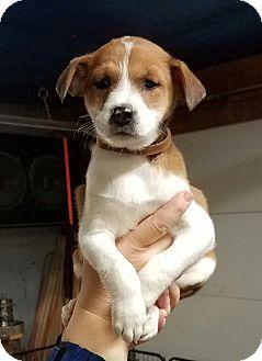 Anatolian Shepherd Mix Puppy for adoption in Laingsburg, Michigan - Lola