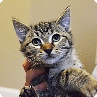 Adopt A Pet :: Pontus - Lincoln, NE