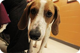 Harrier/Foxhound Mix Dog for adoption in Pittsburg, Kansas - Harriet