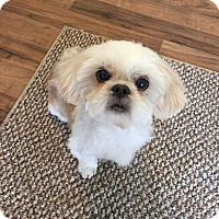 Shih Tzu Mix Dog for adoption in Allen, Texas - Phineas