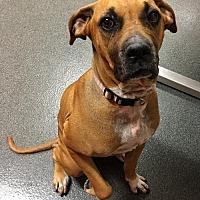 Adopt A Pet :: Cocoa - Southeastern, PA