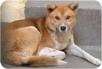 Dog Ready For Adoption Shetland Sheepdog Sheltie Shiba Inu Mixed | Dog ...