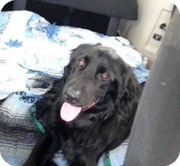 Flat-Coated Retriever Mix Dog for adoption in Foster, Rhode Island - Tigger