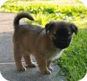 Australian Shepherd/Feist Mix Puppy for adoption in Staunton, Virginia - Aggie