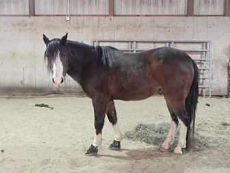 Quarterhorse for adoption in Woodstock, Illinois - Knight