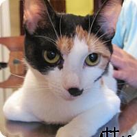 Adopt A Pet :: Attie - Covington, KY