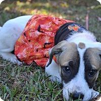 Adopt A Pet :: Phillie - Charlemont, MA