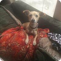 Adopt A Pet :: Lucy - Mesa, AZ