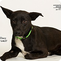 Adopt A Pet :: Darcy - Baton Rouge, LA