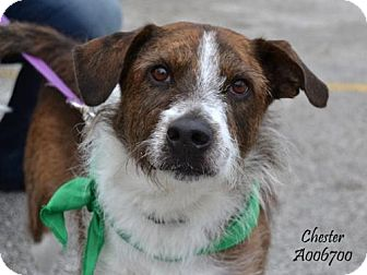 Wirehaired Fox Terrier Mix Dog for adoption in Conroe, Texas - Chester