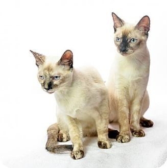 Siamese Cat for adoption in Oxford, Mississippi - Arianna