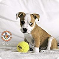 Adopt A Pet :: Eleven (Hospice) - Oceanside, CA